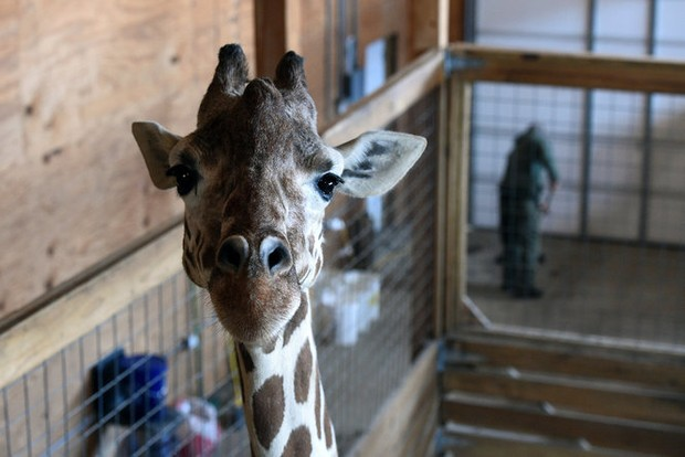 a visit with april the giraffe  photos  video of upstate