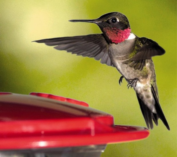 Binghamton Ny News >> Get the feeders out: Ruby-throated hummingbirds are ...