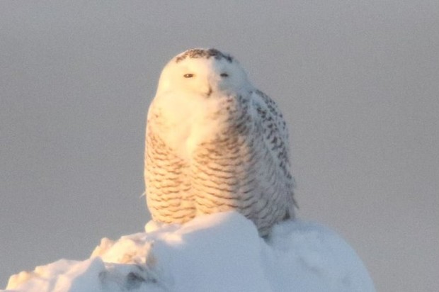 Snowy Owls From The Arctic Tundra Are Back Again In